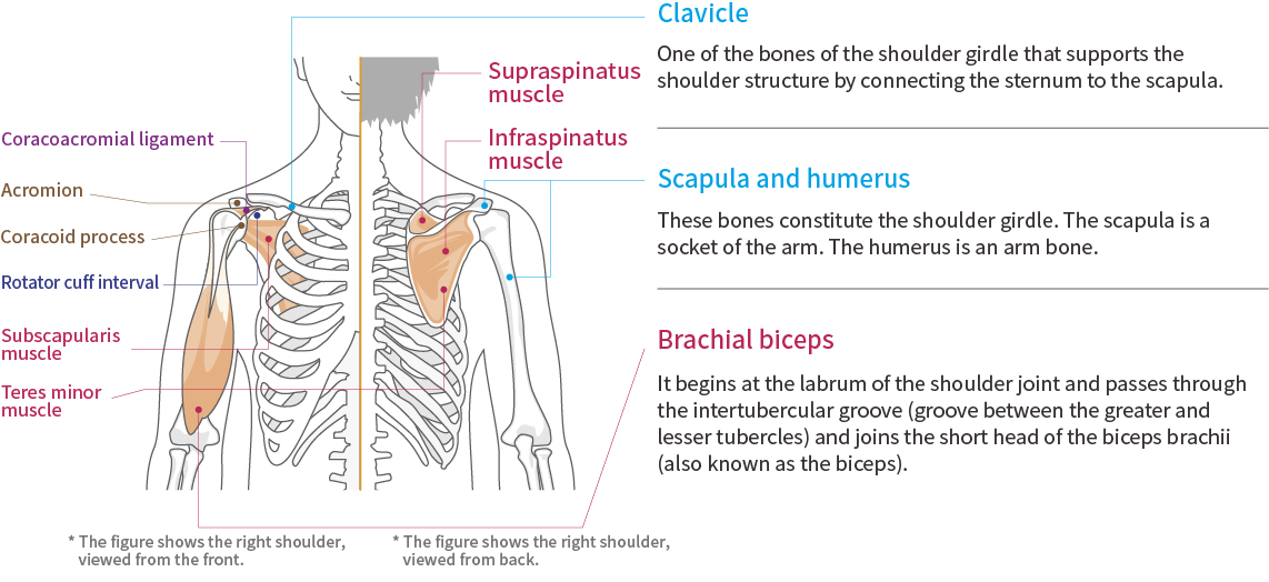 Shoulder function and anatomy