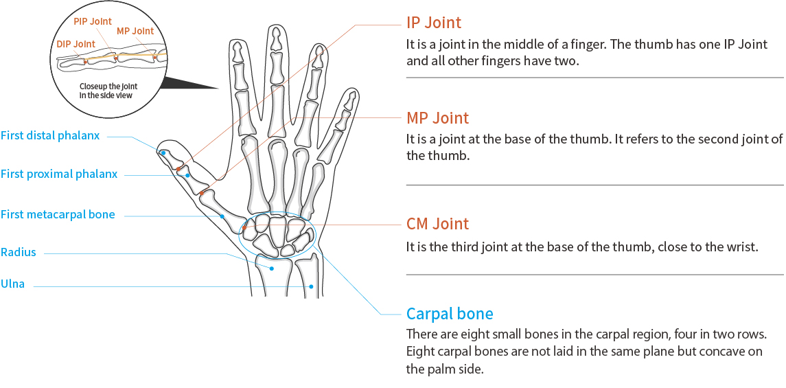 Function and Anatomy of the Thumb and Finger
