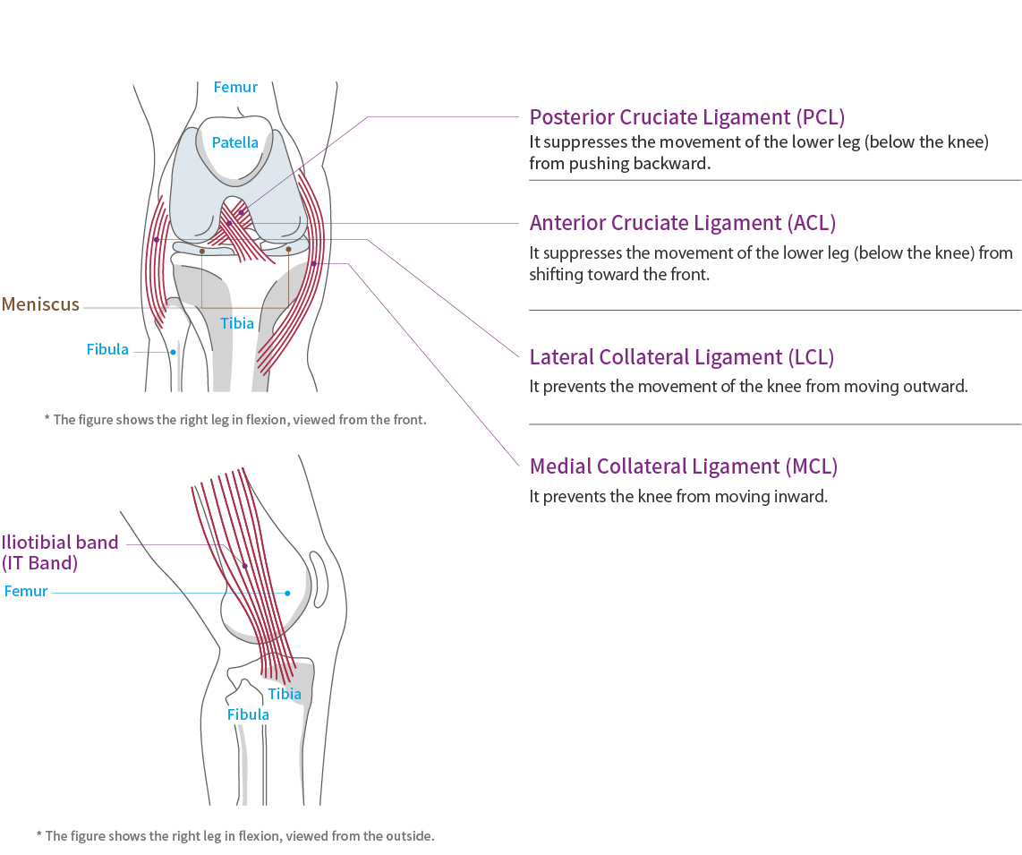 Knee Function and Anatomy