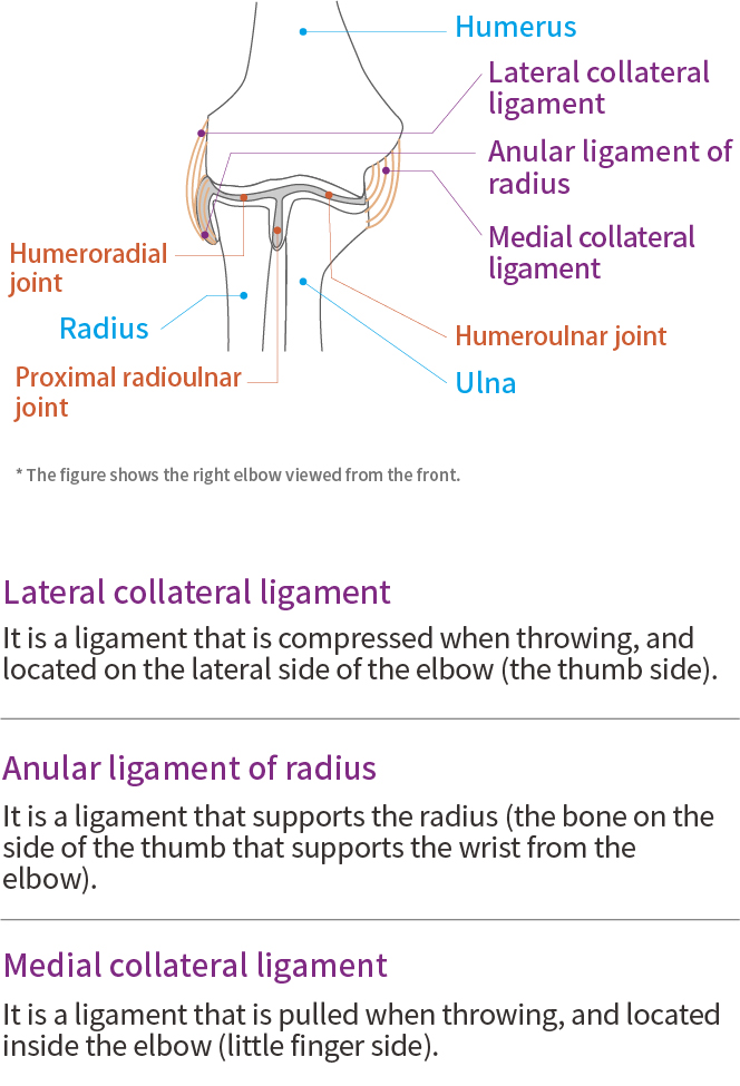 Elbow function and anatomy